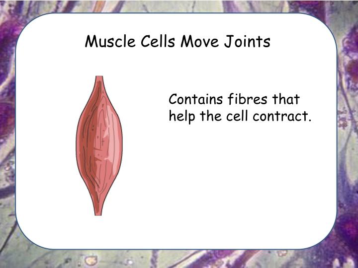 Muscle Cells Move Joints