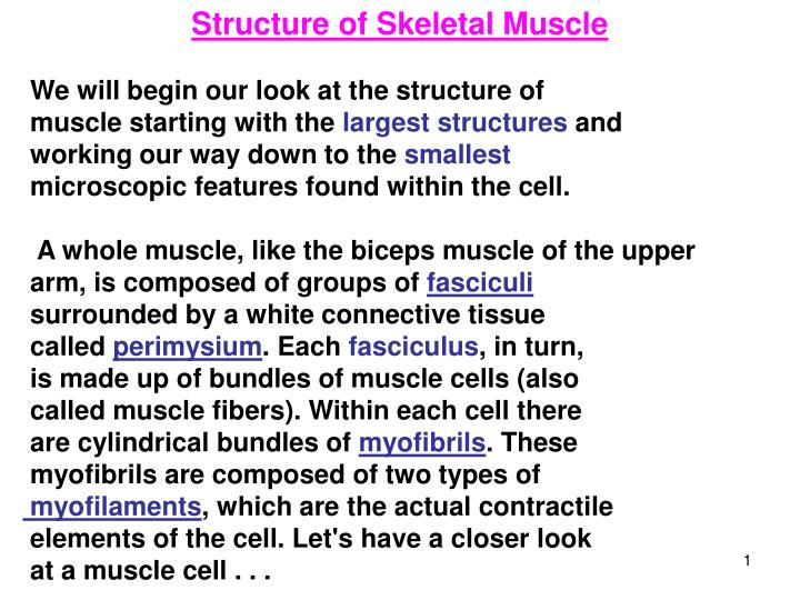 PPT Structure Of Skeletal Muscle We Will Begin Our Look At