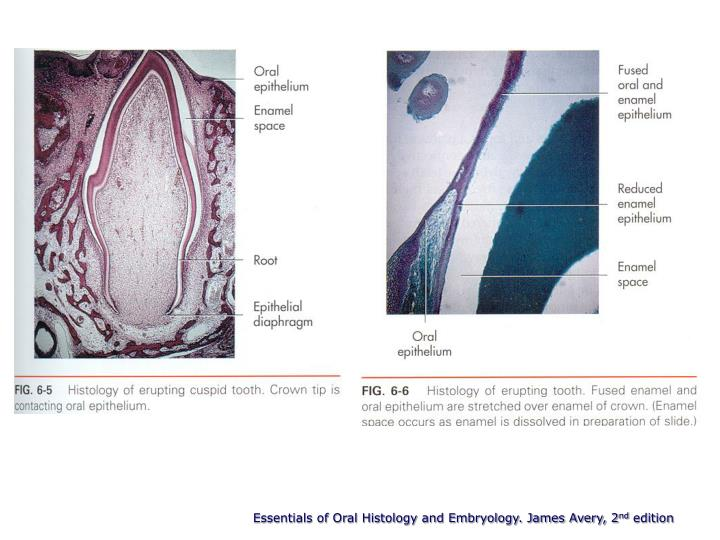 Essentials of Oral Histology and Embryology. James Avery, 2