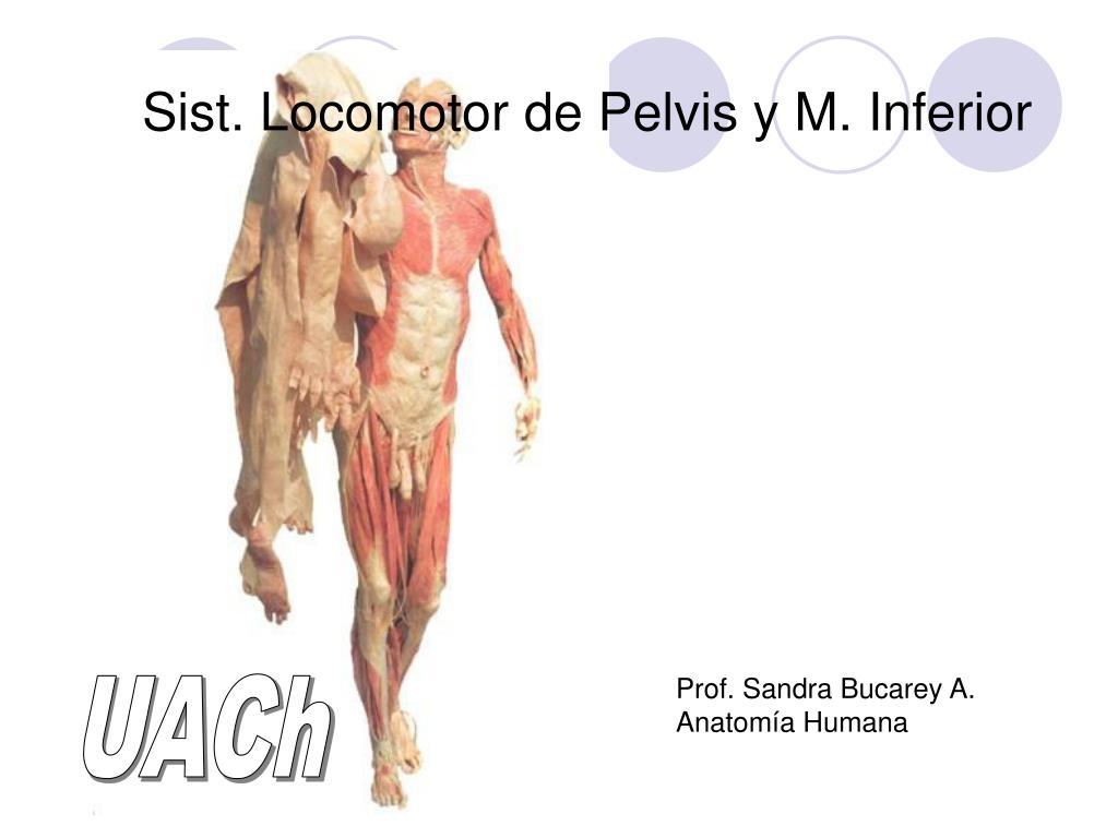 PPT - Sist. Locomotor de Pelvis y M. Inferior PowerPoint ...