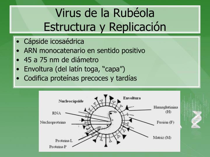 Virus de la rub ola estructura y replicaci n
