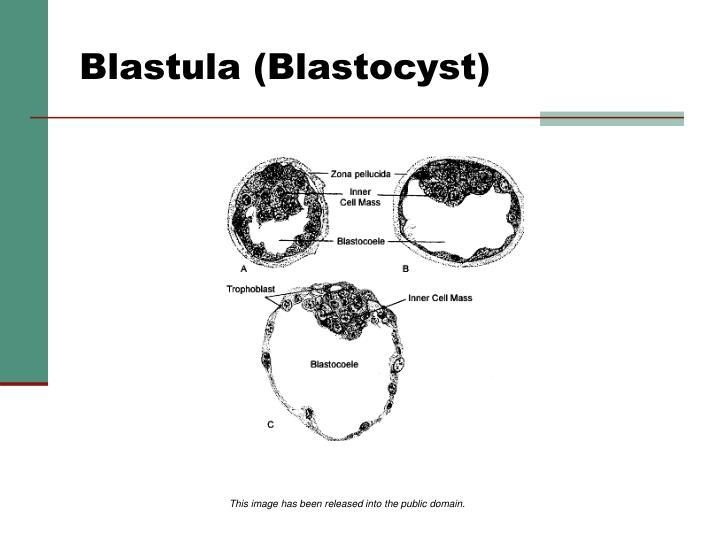 Blastula (Blastocyst)
