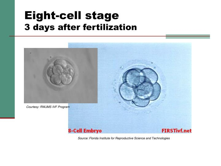 Eight-cell stage