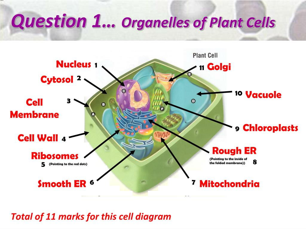 PPT - The Organelles of Cells PowerPoint Presentation ...