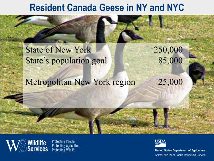 Resident Canada Geese in NY and NYC