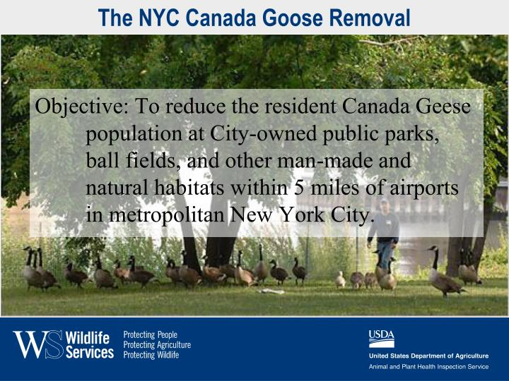 The NYC Canada Goose Removal