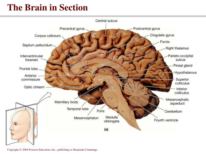 The Brain in Section