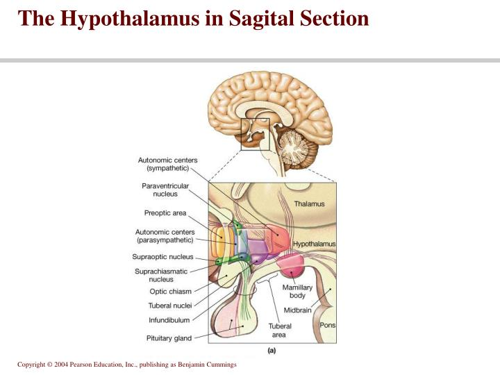 The Hypothalamus in Sagital Section