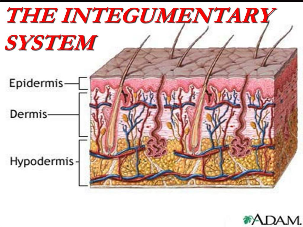 Ppt The Integumentary System Powerpoint Presentation Id5702775