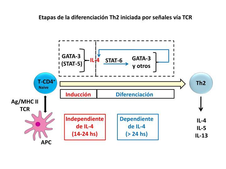 Etapas de la diferenciación Th2 iniciada por señales vía TCR