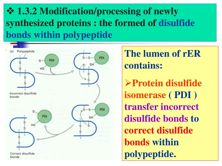 1.3.2 Modification/processing of newly synthesized proteins : the formed of