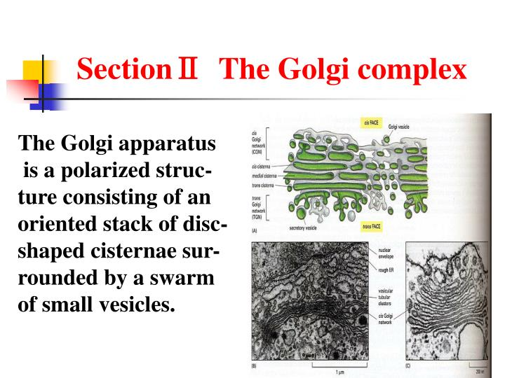 SectionⅡ  The Golgi complex