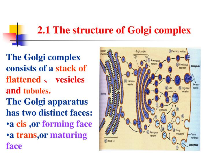 2.1 The structure of Golgi complex
