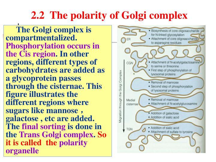 2.2  The polarity of Golgi complex