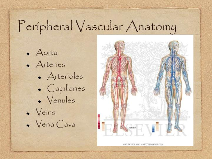 Peripheral Vascular Anatomy Image collections - human body anatomy