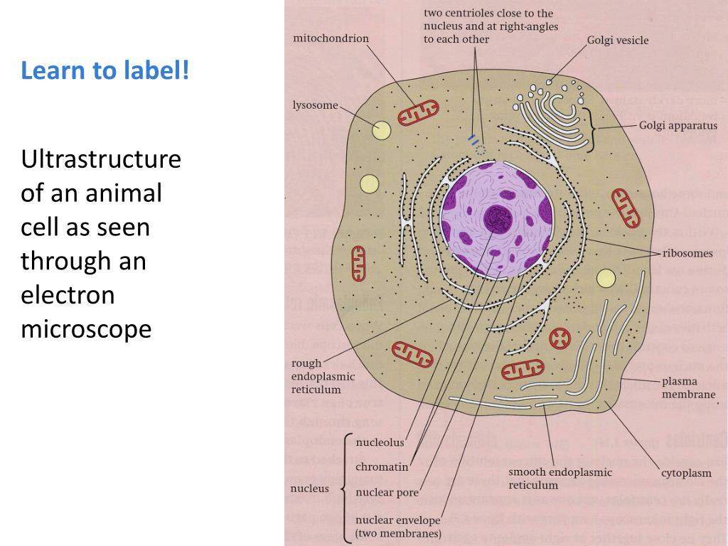 Electron Microscope Eukaryotic Animal Cell