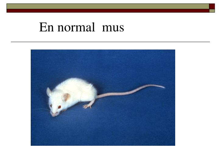 En normal  mus