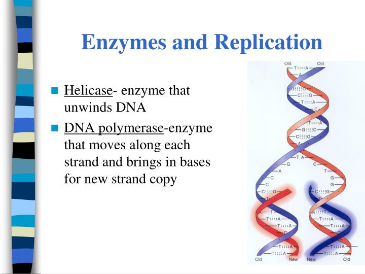 Enzymes and Replication