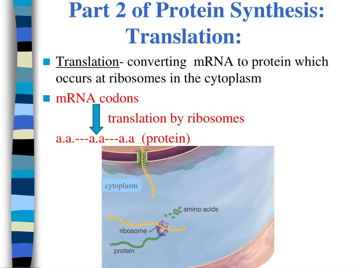 Part 2 of Protein Synthesis: Translation: