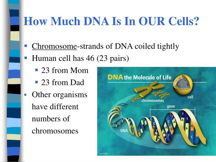 How Much DNA Is In OUR Cells?
