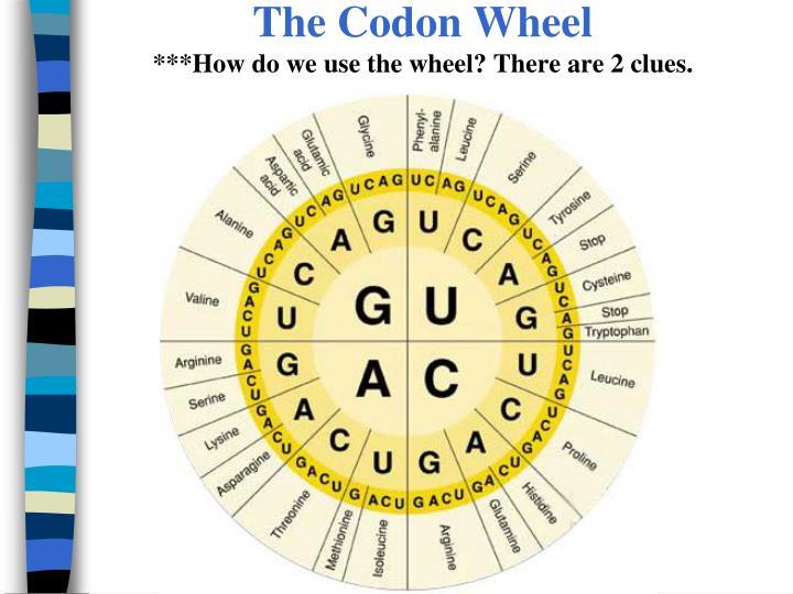 The Codon Wheel