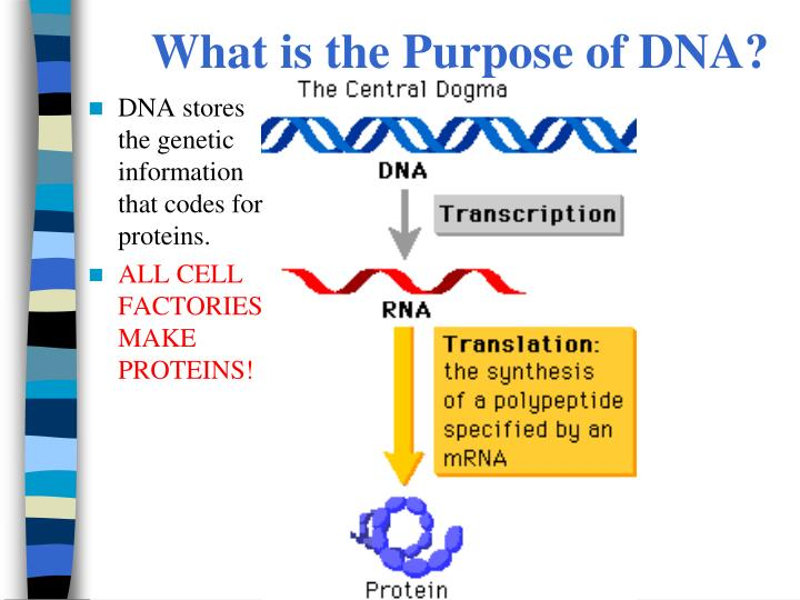 What is the Purpose of DNA?