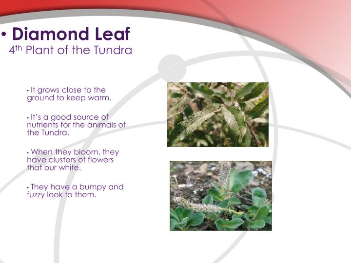 Diamond Leaf