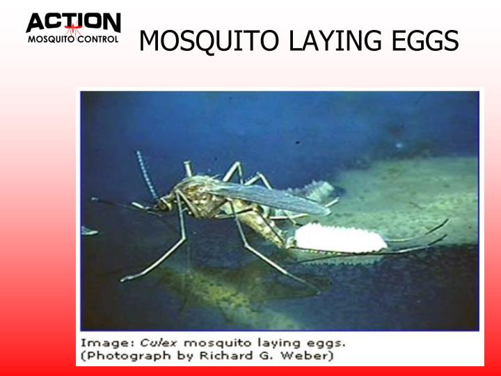MOSQUITO LAYING EGGS
