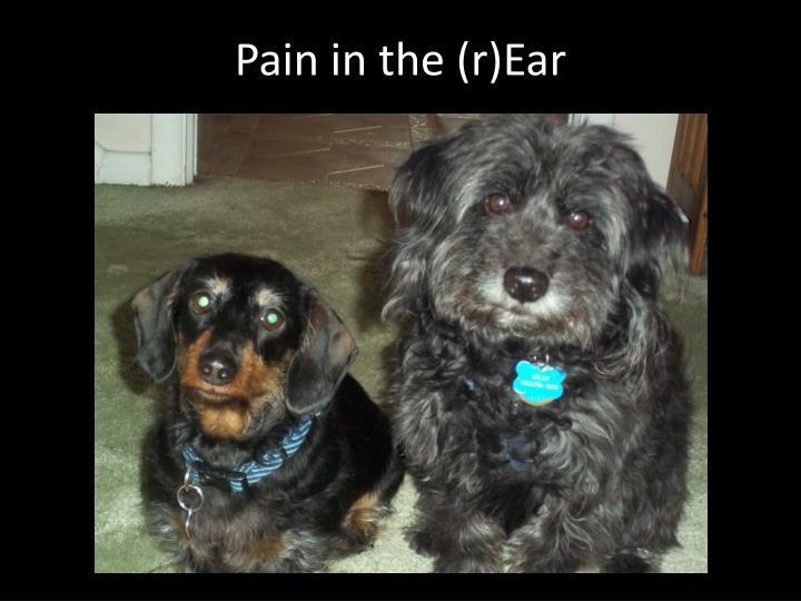 Pain in the r ear