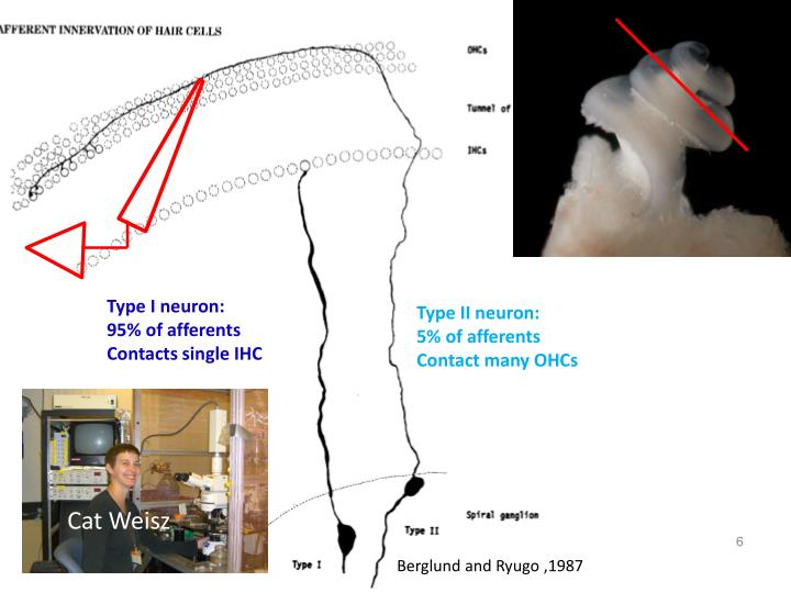 Type I neuron:
