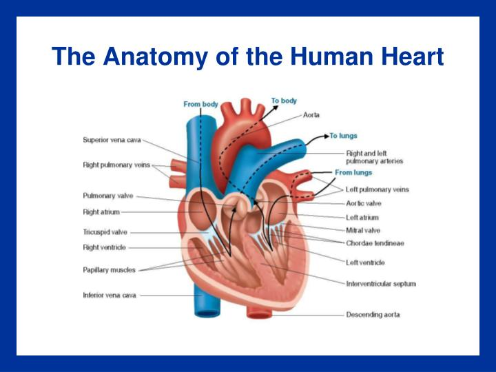 Ppt The Cardiovascular System And Its Control Powerpoint