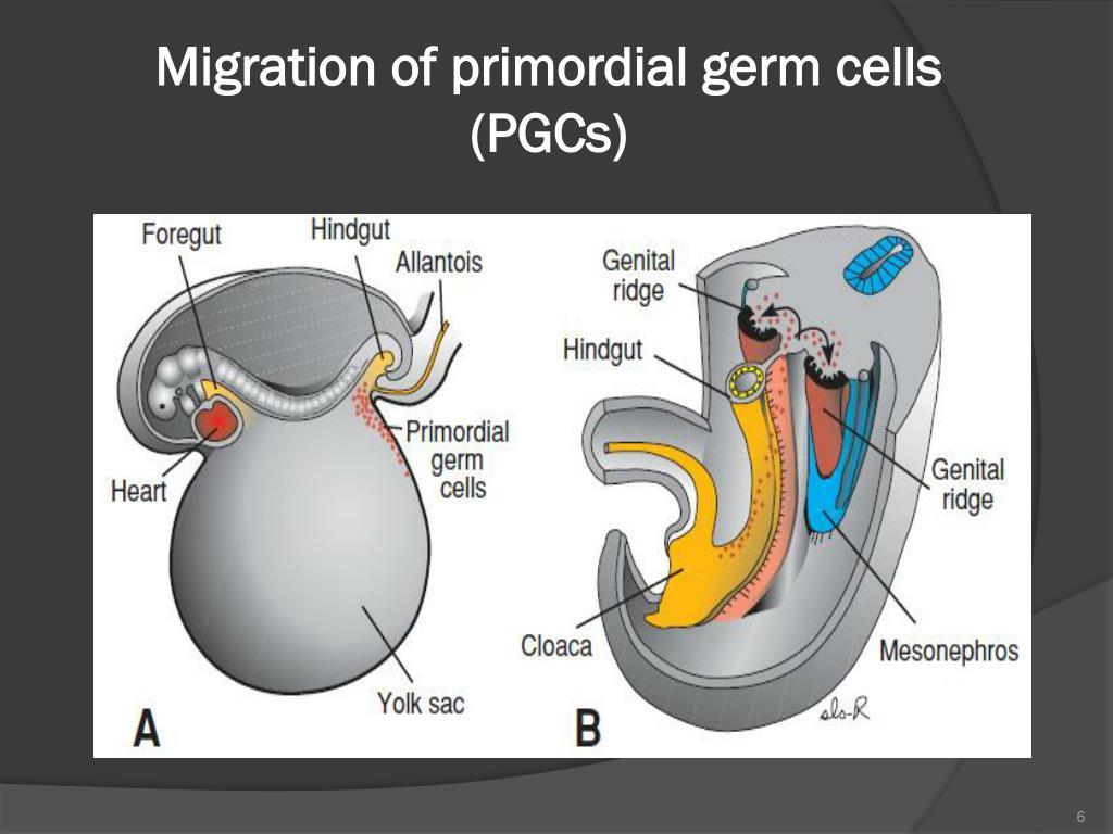 sperm gene Primordial