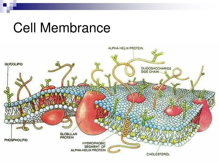 Cell Membrance