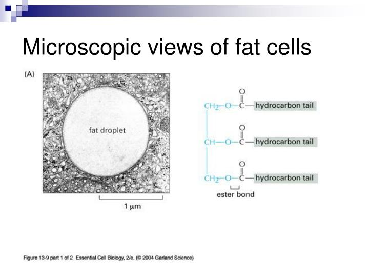 Microscopic views of fat cells