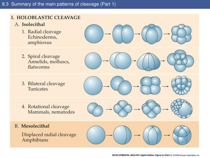 an overview of the three main divisions of the cleavage Mitosis is a type of cell division in which one cell phases of mitosis and the pinch crease is known as the cleavage furrow.