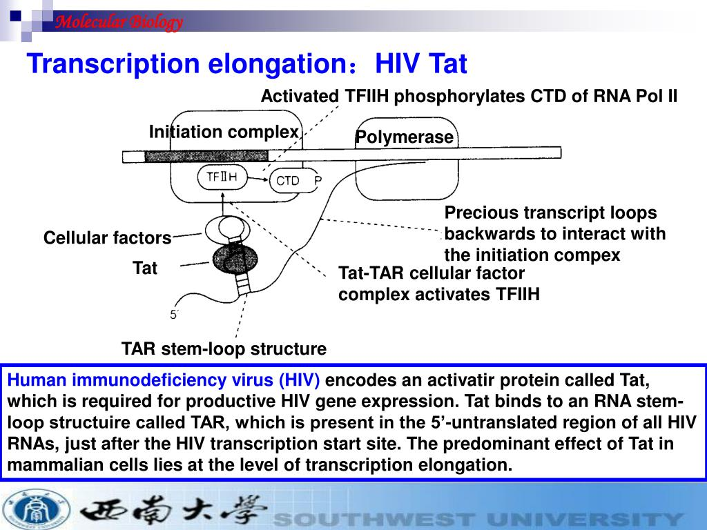 PPT - N1 Eukaryotic transcription factors N2 Examples of
