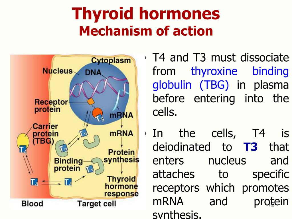 Ppt Thyroid Drugs Powerpoint Presentation Free Download Id