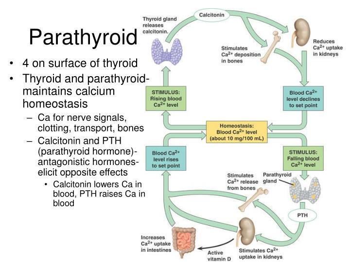 Parathyroid