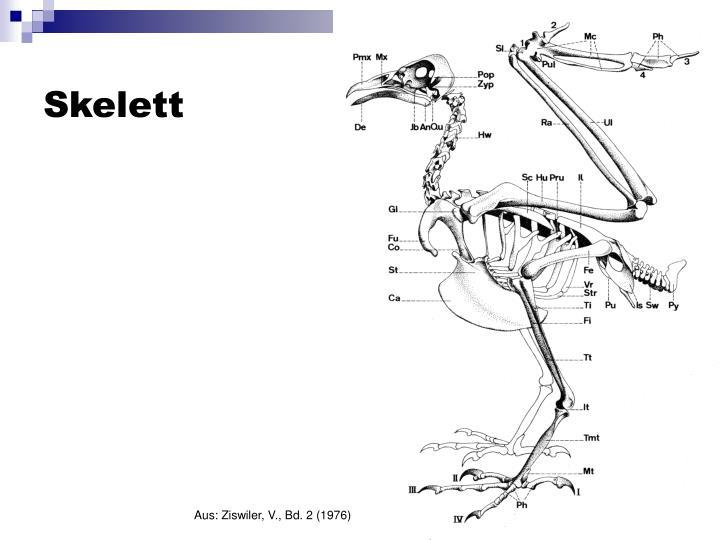 PPT - Osteologie rezenter Vögel 2 PowerPoint Presentation - ID:5720929