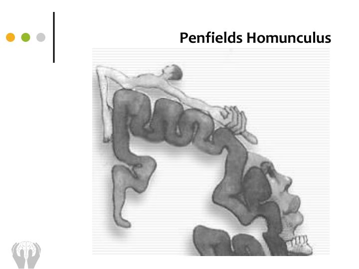 Penfields Homunculus