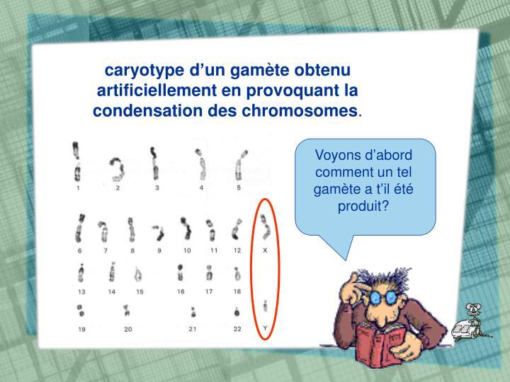 caryotype d'un gamète obtenu artificiellement en provoquant la condensation des chromosomes