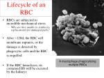 lifecycle of an rbc