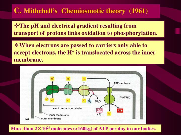 The pH and electrical gradient resulting from transport of protons links oxidation to phosphorylation.