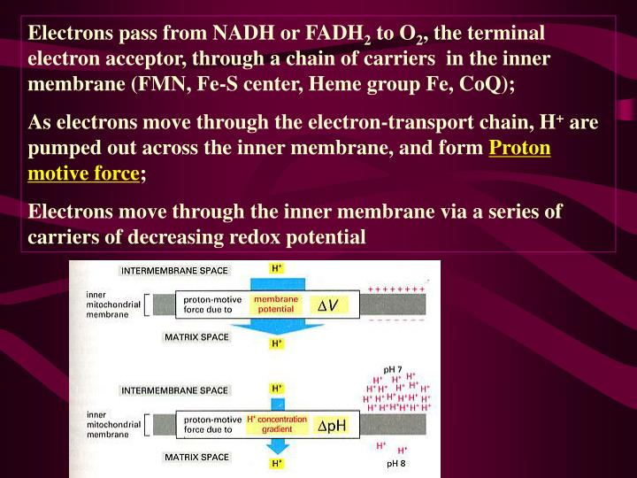 Electrons pass from NADH or FADH
