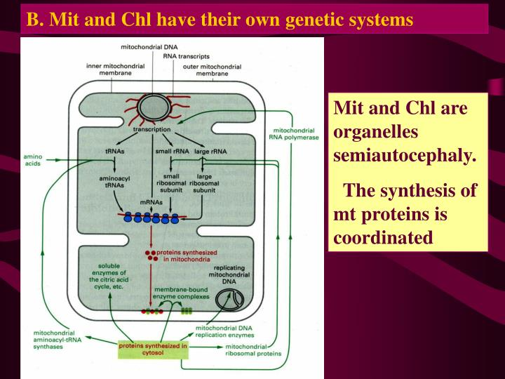 B. Mit and Chl have their own genetic systems