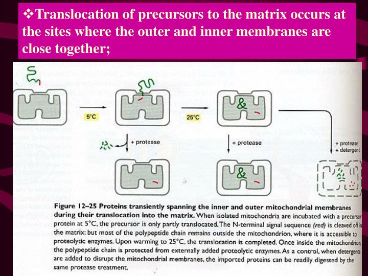 Translocation of precursors to the matrix occurs at the sites where the outer and inner membranes are close together;