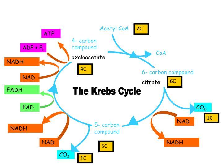 PPT Krebs Cycle PowerPoint Presentation ID 5729846