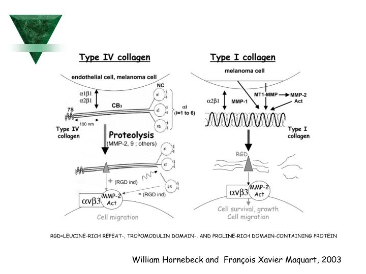 RGD=LEUCINE-RICH REPEAT-, TROPOMODULIN DOMAIN-, AND PROLINE-RICH DOMAIN-CONTAINING PROTEIN