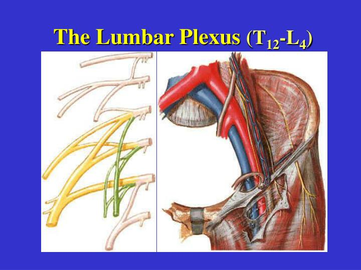The Lumbar Plexus