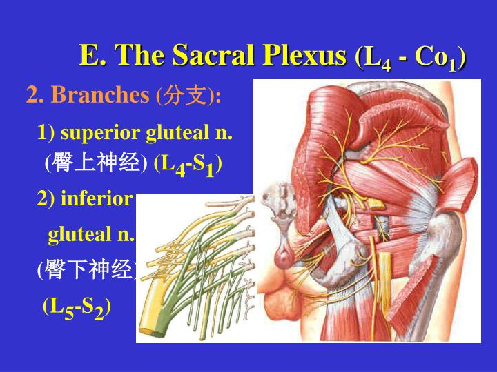 E. The Sacral Plexus